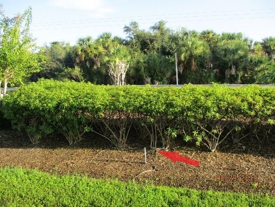 A broken irrigation riser was observed in the 41 median behind the shrubs / dead crape myrtle. Picture #2.